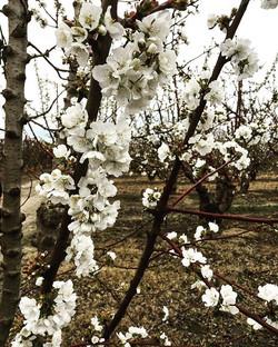 California Cherry season is almost here!