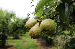 It was a rainy morning in the Delta 🍐