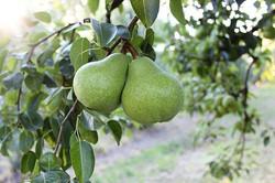It's not California Pear Season until Ba