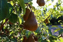 December is officially National Pear Mon