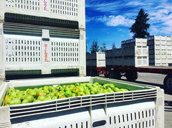 California Bartlett Pears are here! Fres