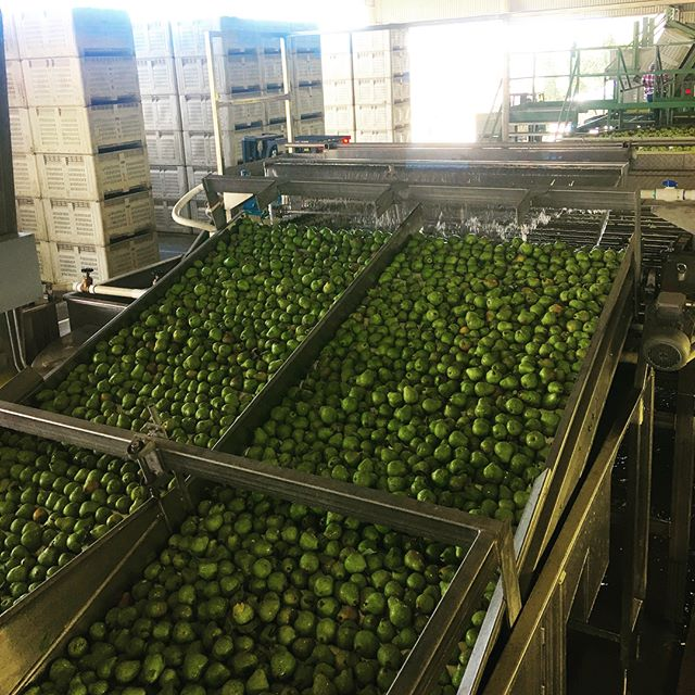 Our packing lines have turned green! 🍐