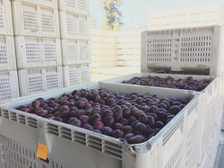 Day 3 of Harvest! It's out of the orchar