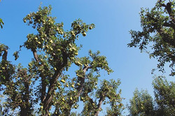 Can it be Pear season all year long_ 🍐·