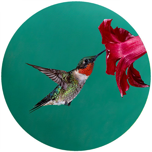Red Throat Hummingbird - CHB