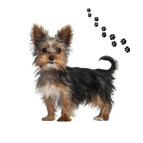 Yorkshire Terrier- YT