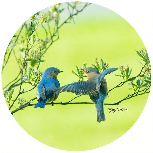 Bluebird Couple - KMBB4