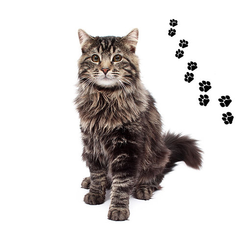 Maine Coon- MC