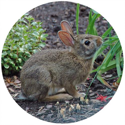 Rabbit - KMRB1
