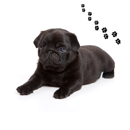 Pug Black- PGB