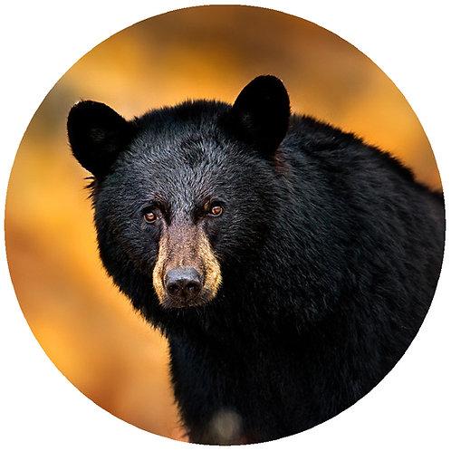 Majestic Bear - MB