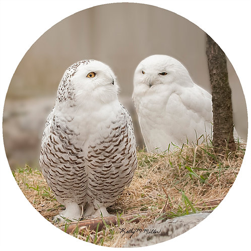 Owls - KMSO1
