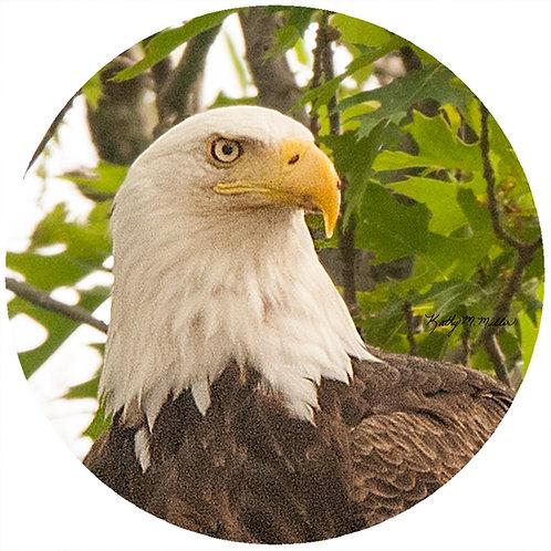 Bald Eagle - KMBE2