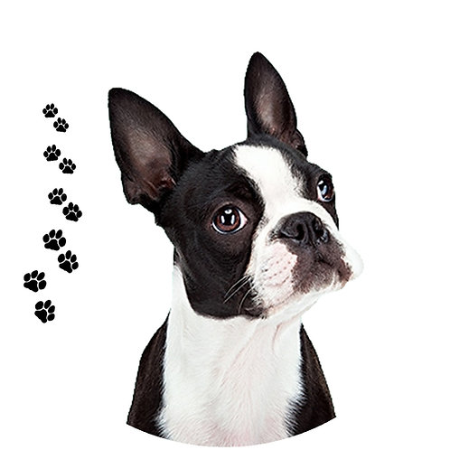 Boston Terrier- BT