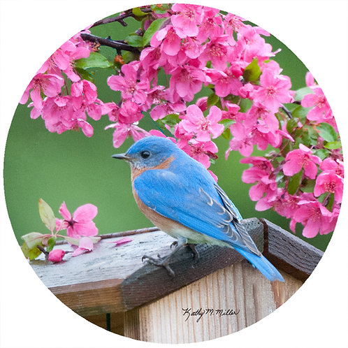 Spring Bluebird - KMBB3