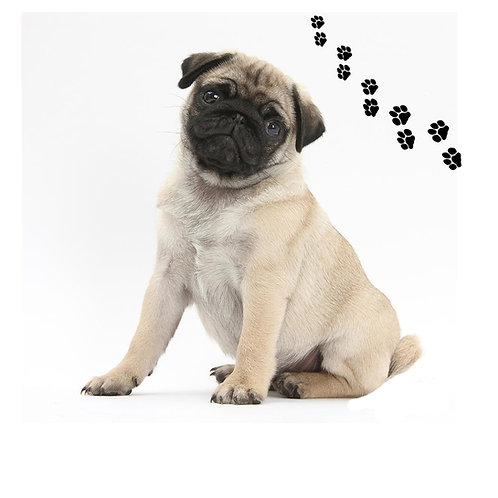 Pug Fawn- PGF
