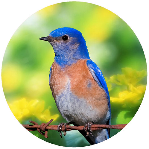 Blue Bird - CBB