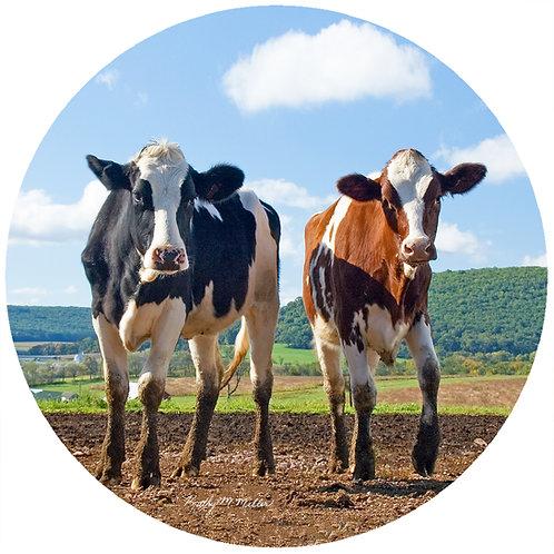 Cows - KMCO1