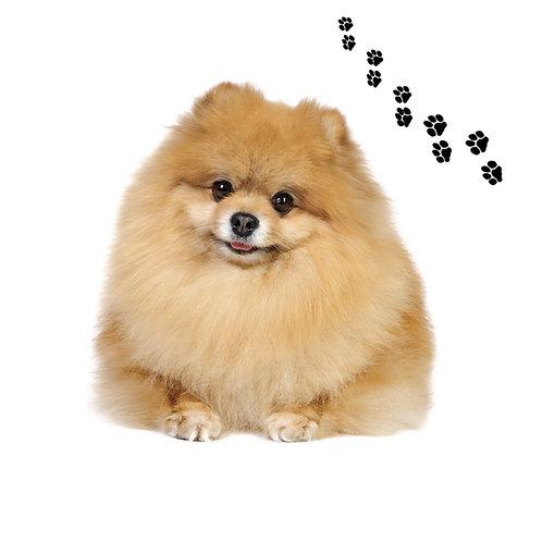 Pomeranian- POM