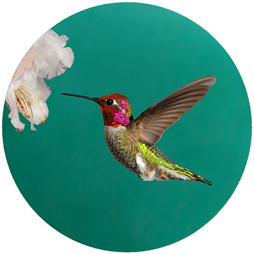 Annas Hummingbird - CAH