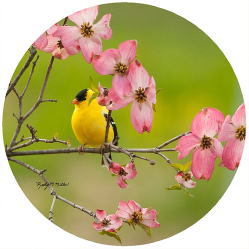 Goldfinch Dogwood - KMGF4