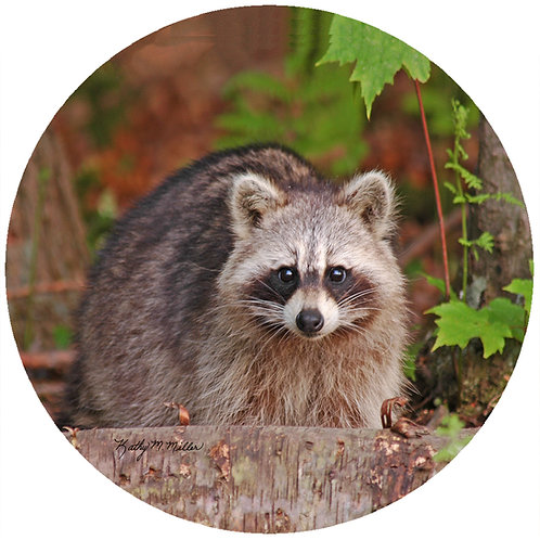 Raccoon - KMRC1