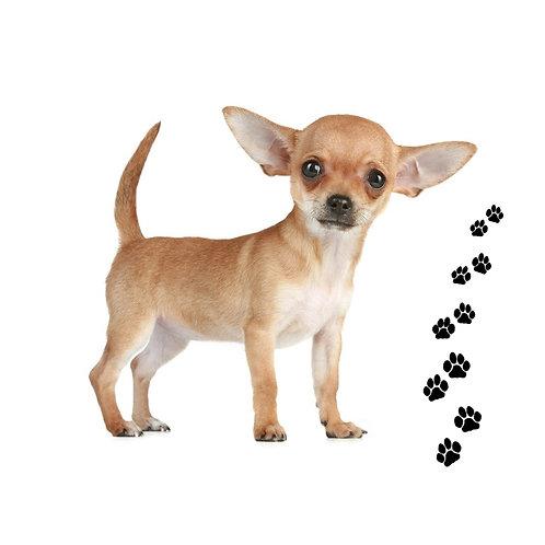 Chihuahua- CH