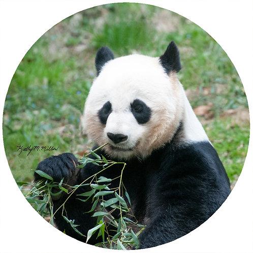 Panda - KMPB1