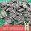 Thumbnail: Moo Coins