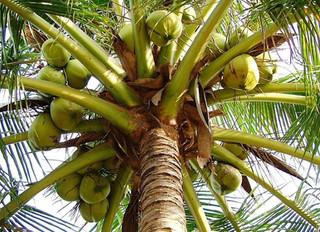LA NOIX DE COCO… 1000 UTILISATIONS ET UN BIENFAIT DE LA NATURE…