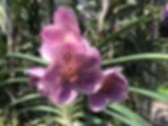 orchidées chiang mai - thailande sejours