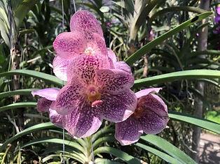 orchidées - excursions thailande