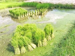 Circuits Thailande rizières.jpg