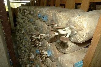 Agence-locale-Thailande-ferme-de-champignons