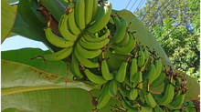 THAÏLANDE TERRE DE FRUITS...