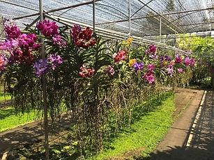 orchidées thailande- organiser voyage thailande