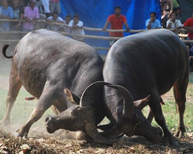 Combat buffles Thailande - Specialiste voyage Thailande