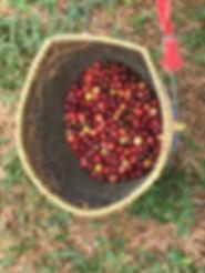 ferme café organique thailande - organiser voyage thailande