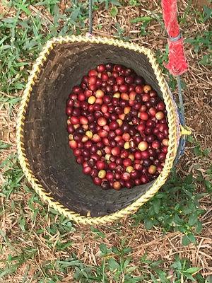 ferme de café organique suan lahu - thailande vacance