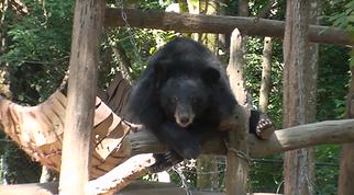 ours brun laos - thailande sejours