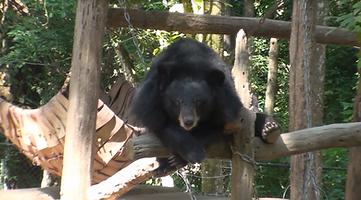 ours brun laos - thailande vacance
