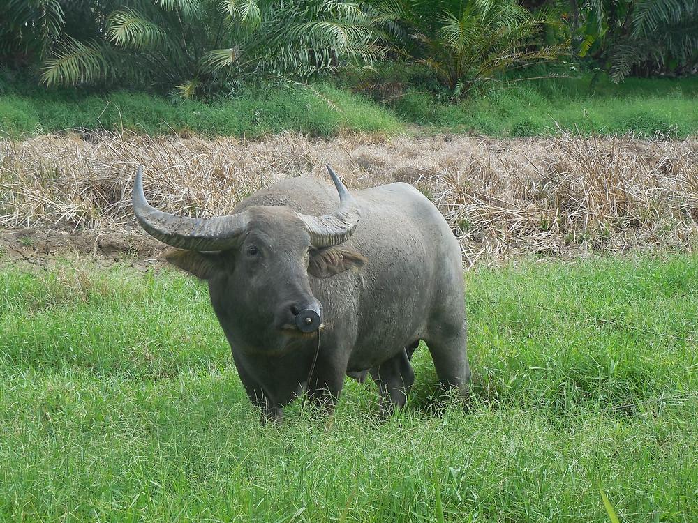 Buffle Thailande - siam-holidays.com