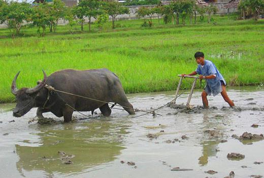 Buffle Thailande -voyage organise thailande