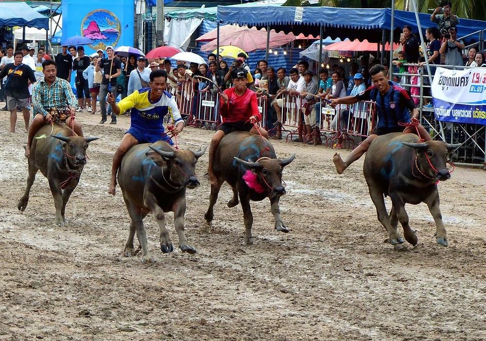 course buffles thailande - voyagiste thailande