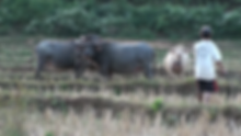 buffles laos - voyages thailande circuit