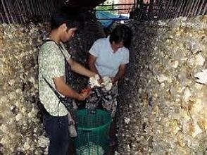 Visiter-Thailande-ferme-de-champignons