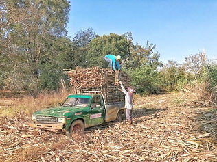 Voyagiste Thailande canne a sucre.jpg