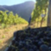 hand harvesting in Stellenbosch, De Trafford Merlot
