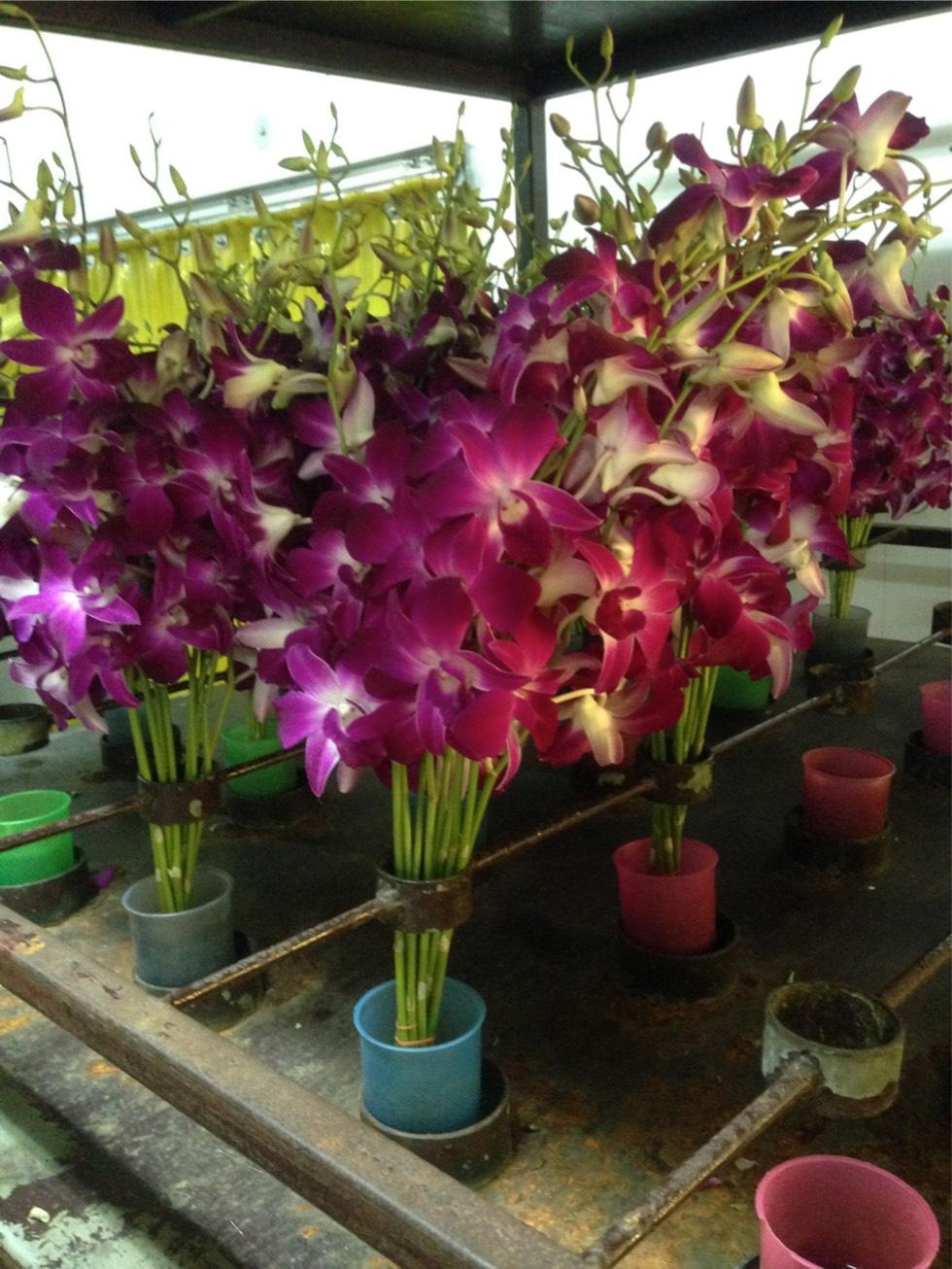thai orchid 5