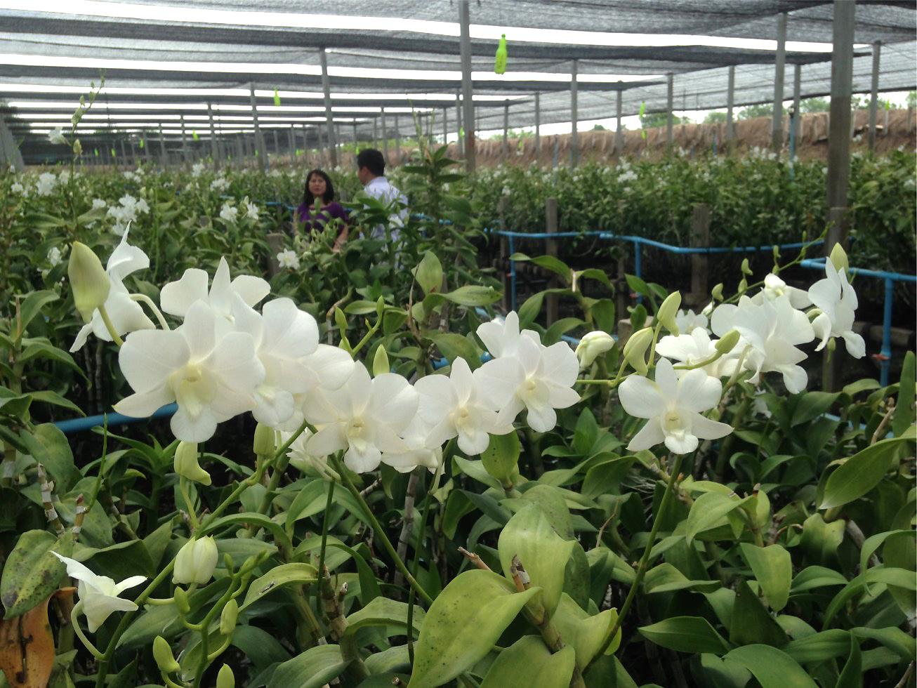 thai orchid 3